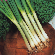 Onion White Lisbon - Salad / Spring Onion 1,600 - 3000 seeds